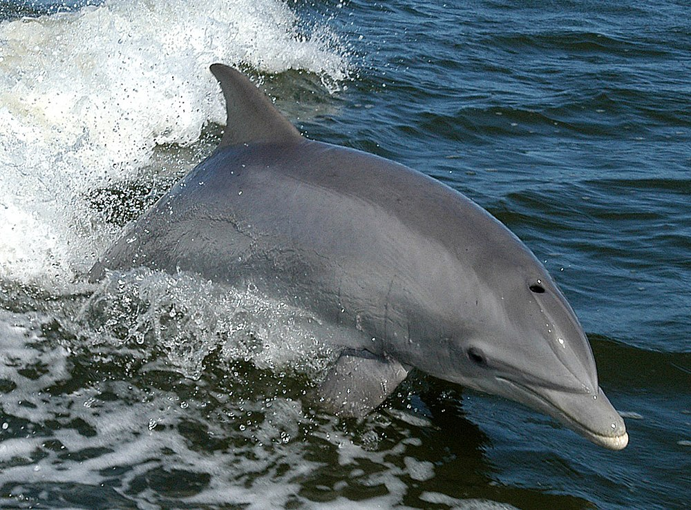 The average litter size of a Common bottlenose dolphin is 1