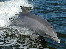 Tursiops truncatus 01-cropped.jpg