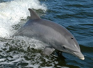 Common bottlenose dolphin - Common bottlenose dolphin breaching in the bow wave of a boat