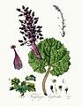 Tussilago hybrida — Flora Batava — Volume v3 - clean.jpg
