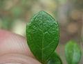 Twinflower (Linnaea borealis) leaf.jpg
