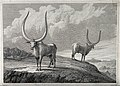 Two African oxen with huge horns standing on a hillside. Etc Wellcome V0021572.jpg