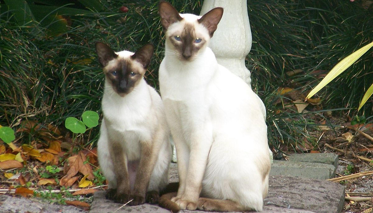 Siamese cat Simple English the free encyclopedia