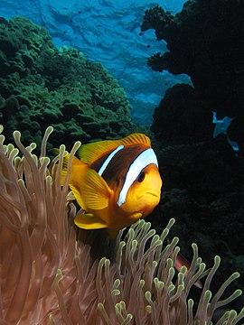 Twoband anemonefish in the Red Sea 2.JPG