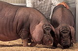 dark pink with thin black hair Meishan pig