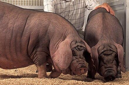 The Different Breeds of Swine - Large Black. Large Black Pig Breed ...