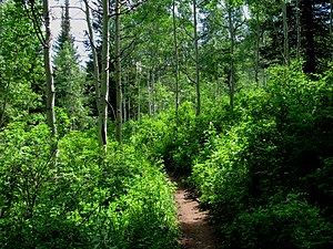 Uinta National Forest - Trail into a grove of aspen and fir, north of Sundance in the Uinta National Forest