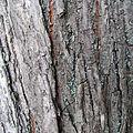 Ulmus laevis bark.jpg