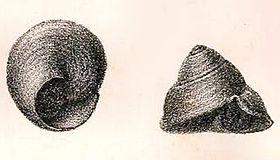 Umbonella sismondae 001.jpg