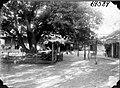 Umbuc tree in yard (3525674665).jpg