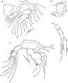 Unicolax longicrus (10.7717-peerj.6858) Figure 6.png