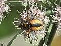 Unidentified Diptera - Galicia - 01.jpg