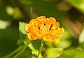 Unidentified flower at Universitas Gadjah Mada, Yogyakarta, 2014-04-30 02.jpg