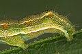 Unknown caterpillar (14543658463).jpg