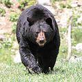 Ursus americanus PO 04.jpg