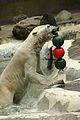 Ursus maritimus at the Bronx Zoo 010.jpg