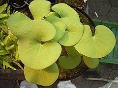 UtriculariaReniformisLamina.JPG