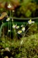 Utricularia bisquamata.jpg