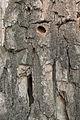 Výletové otvory tesaříka obrovského (Cerambyx cerdo) Vrbenské rybníky 02.jpg
