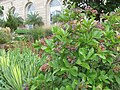 VIburnum nudum at the U.S. Botanic Garden in September (14975377993).jpg