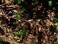 Vaccinium parvifolium 39125.JPG