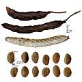Vachellia fruits and seeds.jpg