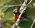 Van Hasselt's Sunbird (Leptocoma brasiliana) m - Flickr - Lip Kee (4).jpg