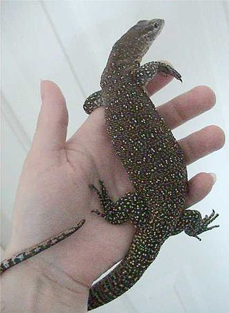 Monitor lizard - V. timorensis, Timor tree monitor