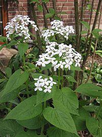 Vaste Judaspenning plant Lunaria rediviva.jpg