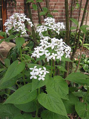 Lunaria rediviva - Image: Vaste Judaspenning plant Lunaria rediviva
