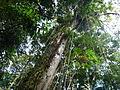 Vegetación de la Reserva de la Biosfera La Amistad Panama (RBLAP) 44.JPG