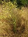 Verbascum sinuatum RJP 05.jpg