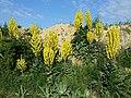Verbascum speciosum sl29.jpg