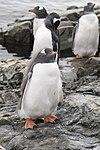 Vernadsky Station Winter Island Antarctica Gentoo Penguins 3 (47284556082).jpg