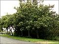 Vernicia montana 1.jpg