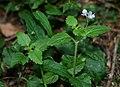 Veronica montana 1.jpg