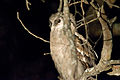 Verreaux's Eagle-owl 2353723414.jpg