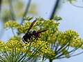 Vespa velutina nigrithorax, Josselin, France 03.jpg