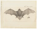 Vespertilio daubentonii - 1700-1880 - Print - Iconographia Zoologica - Special Collections University of Amsterdam - UBA01 IZ20800133.tif