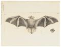 Vespertilio pictus - 1700-1880 - Print - Iconographia Zoologica - Special Collections University of Amsterdam - UBA01 IZ20800105.tif