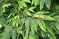 Viburnum plicatum kz1.jpg