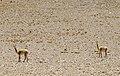Vicuñas Río Blanco 2.jpg