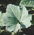 Vine C maxima plant - one leaf.jpg