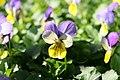 Viola Sorbet Yellow Frost 1zz.jpg