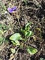 Viola ambigua sl34.jpg