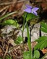 Viola riviniana (2).JPG