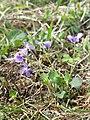 Viola rupestris sl5.jpg