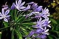 Violet Lily.jpg