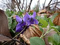 Violets in Georgia.jpg