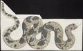 Vipera arietans - 1700-1880 - Print - Iconographia Zoologica - Special Collections University of Amsterdam - UBA01 IZ11700109.tif